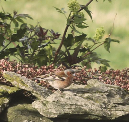 vanlige fugler i hagen