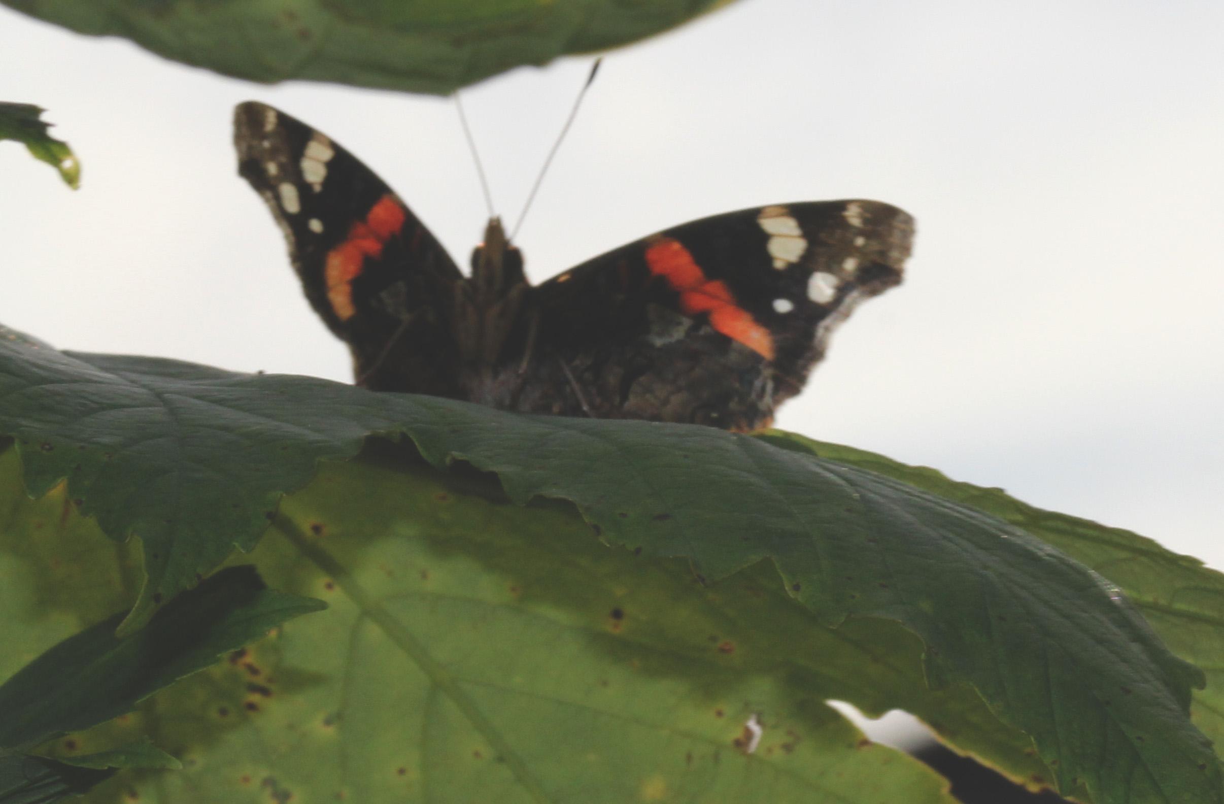 sommerfugler bilder